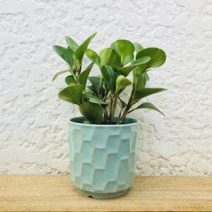 Peperomia Sage Pot Plant Gift