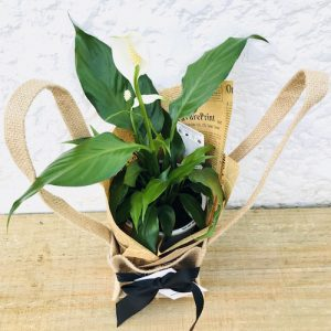 Peace Lily Hessian Bag Plant Gift Top
