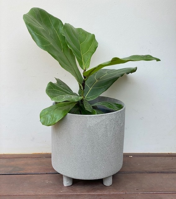 Fiddle Leaf Fig in Stone Planter