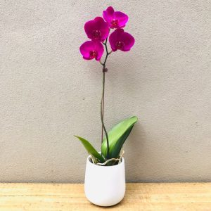 Orchid Plant Gift in White ceramic Pot