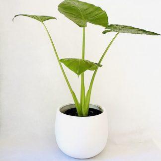 Alocasia Plant Brisbane