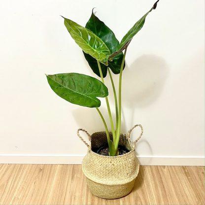 Alocasia Seagrass Basket Pot Me Pretty