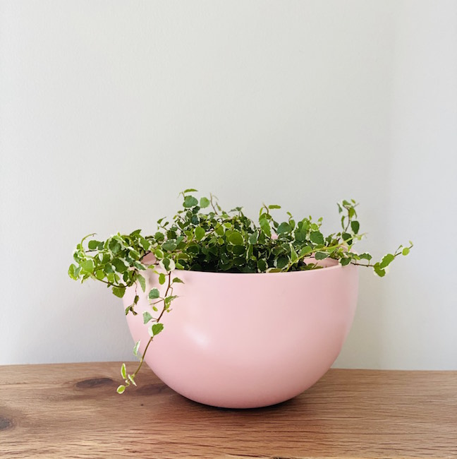 Creeping Fig in Charlotte Pot