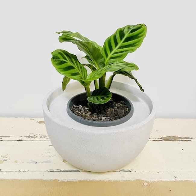 Calathea in Addison Pot