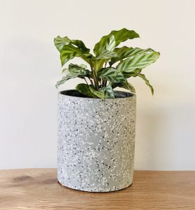 Calathea Pot Plant Grey