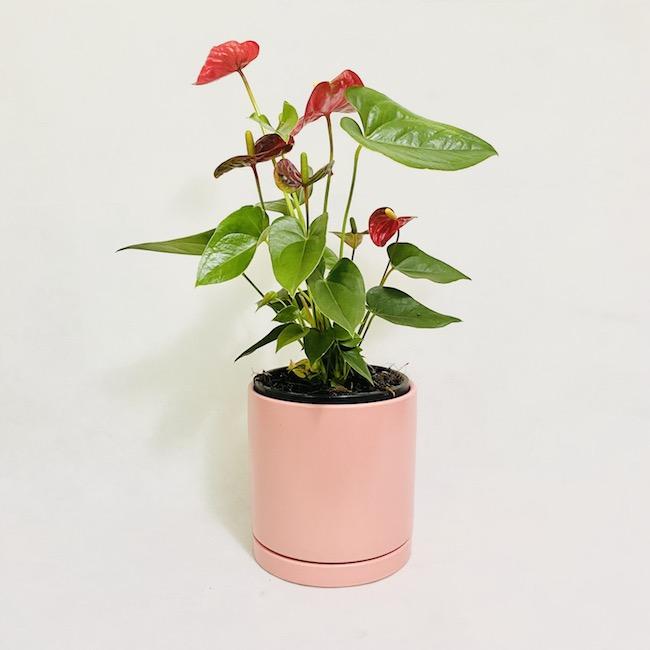 Flamingo Flower in Pia Pot
