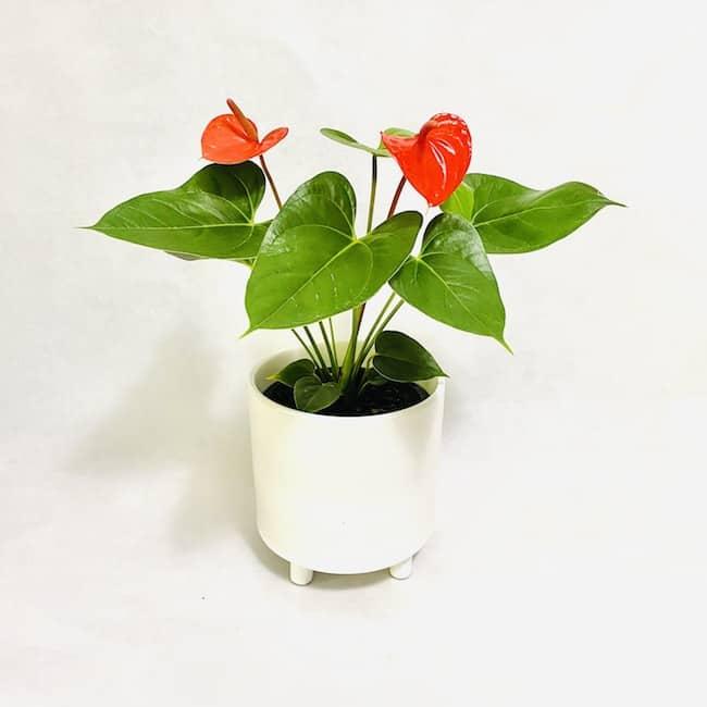 Flamingo Flower in Fleur Pot