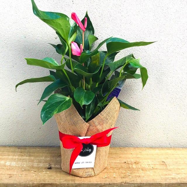 Wrapped Flamingo Flower