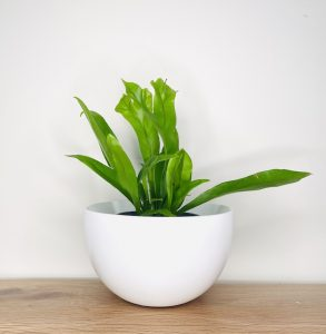Indoor Fern in White Pot Delivered Brisbane