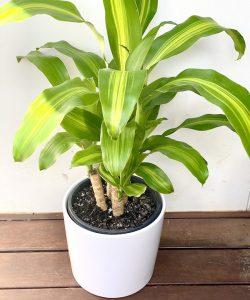 Happy Plant Delivered Brisbane