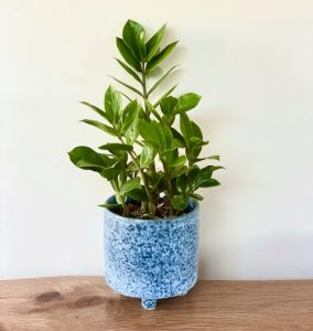 ZZ Living Plant Gift in Ceramic Pot