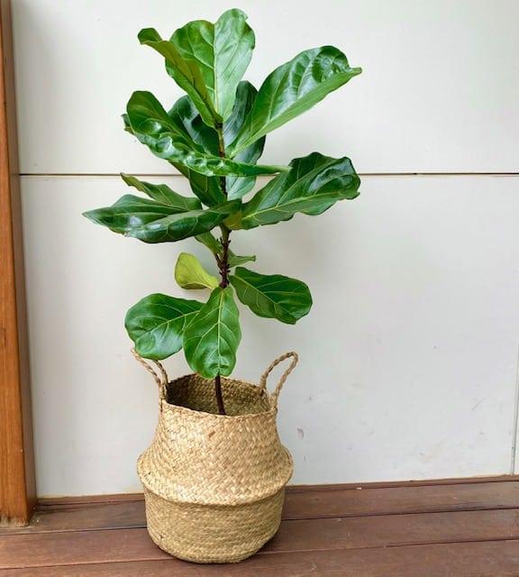 Fiddle Leaf Fig in Natural Seagrass Basket