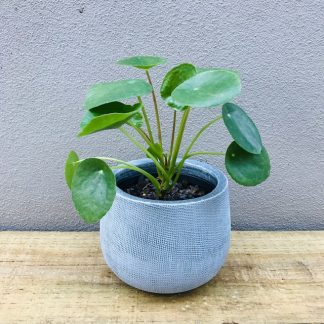 Chinese Money Plant in a textured grey pot