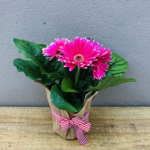 Pink Gerbera Plant gift wrapped with red ribbon