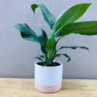 Peace Lily in a two toned pot