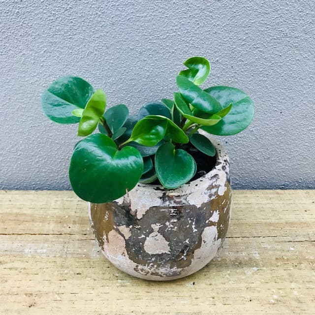 Peperomia in Cement and Gold Pot