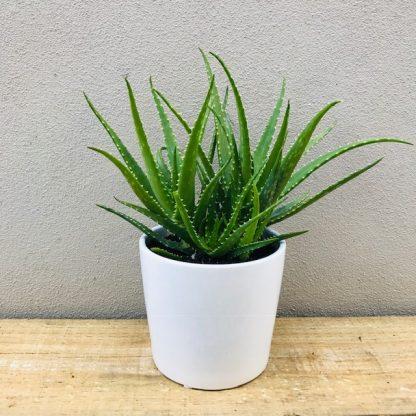 Aloe Vera in White Ceramic Pot