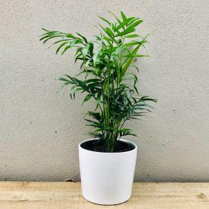 Parlour Palm in White Ceramic Pot