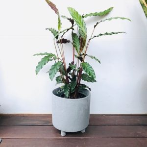 Fury Feather Plant in Grey Stone Pot with Feet