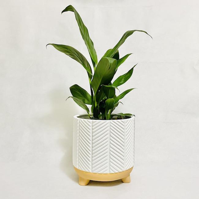 Peace Lily in Zari Planter