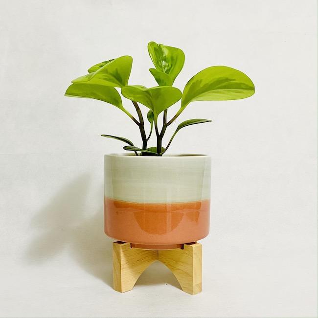 Peperomia in Viva Pot