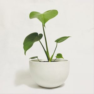 Potted Monstera Plant Delivery