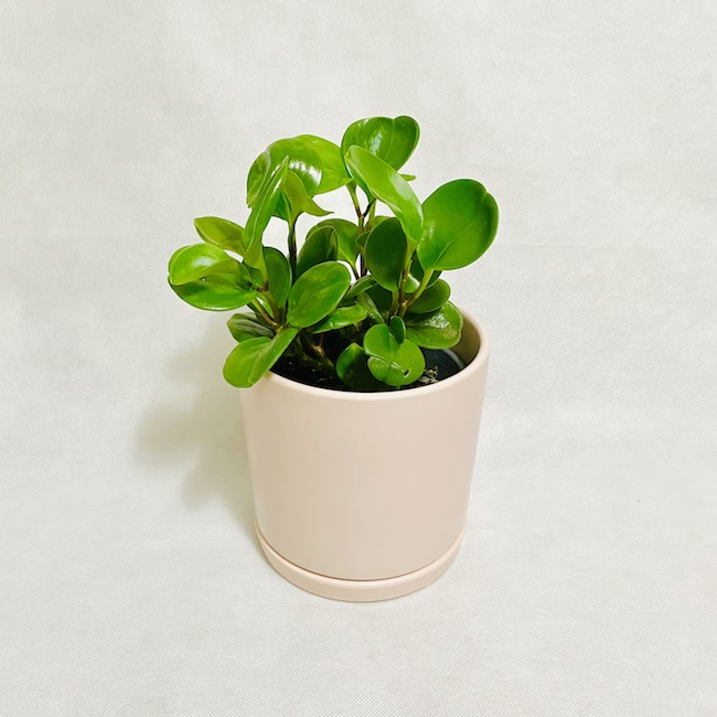 Peperomia in Dakoda Pot