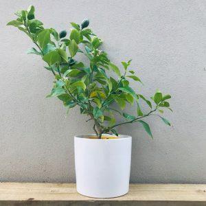 Lemon Tree in a white ceramic pot gift