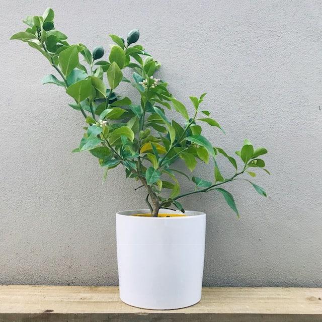 Lemon Tree in a White Ceramic Pot Medium