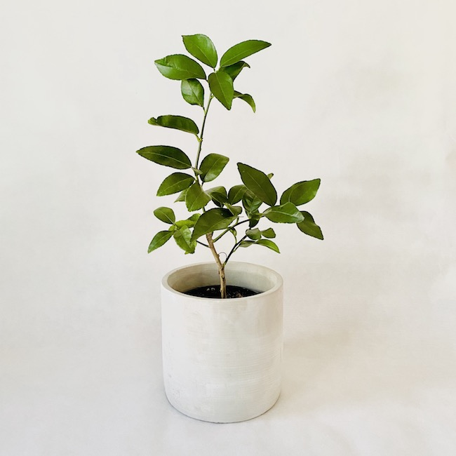 Lime Tree in Elliott Pot