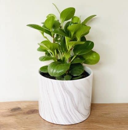 Peperomia White Marble Pot