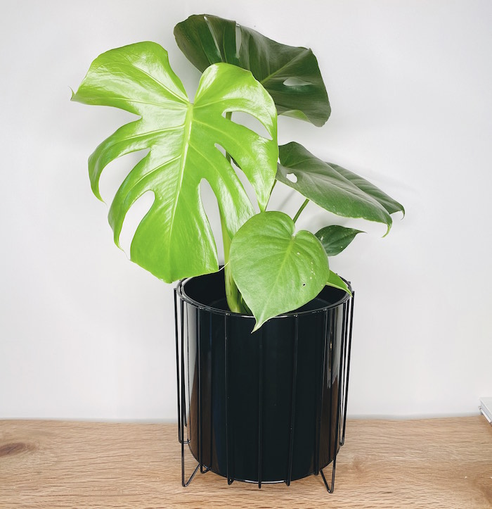 Monstera Deliciosa in Amy Planter