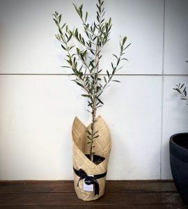 Olive Tree Delivered Brisbane