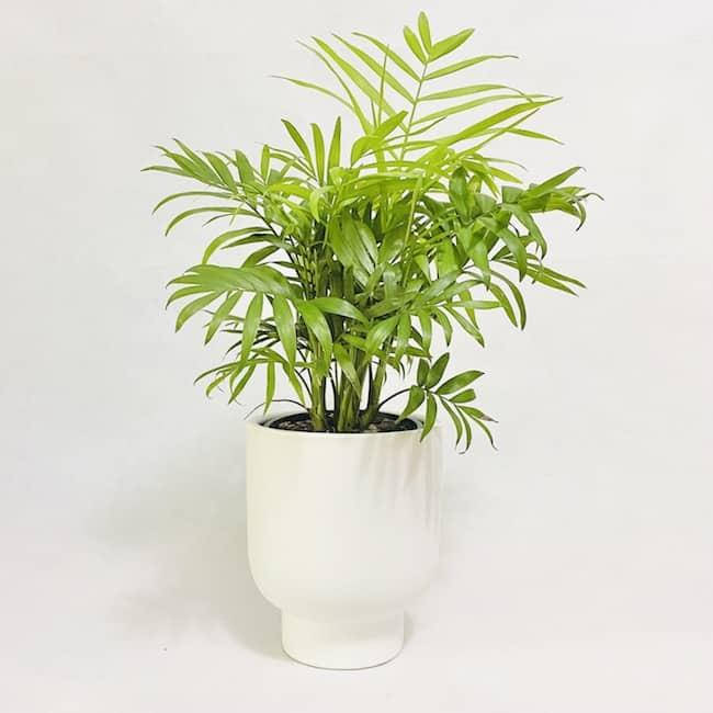 Parlour Palm in April Pot