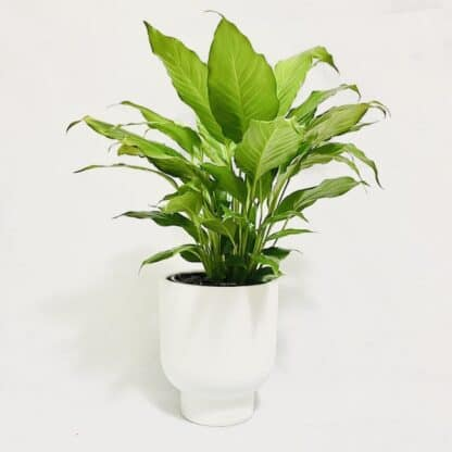 Peace Lily Plant in White Pot