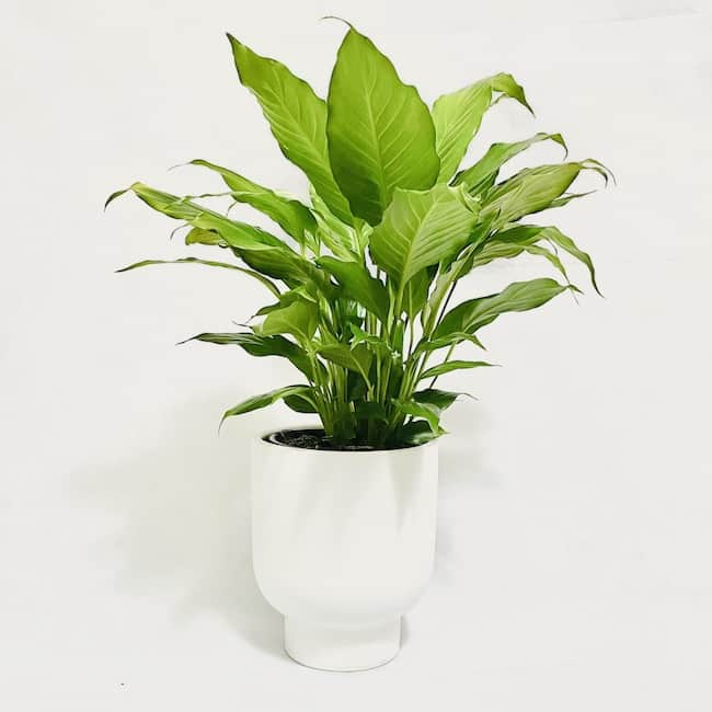 Peace Lily in April Pot