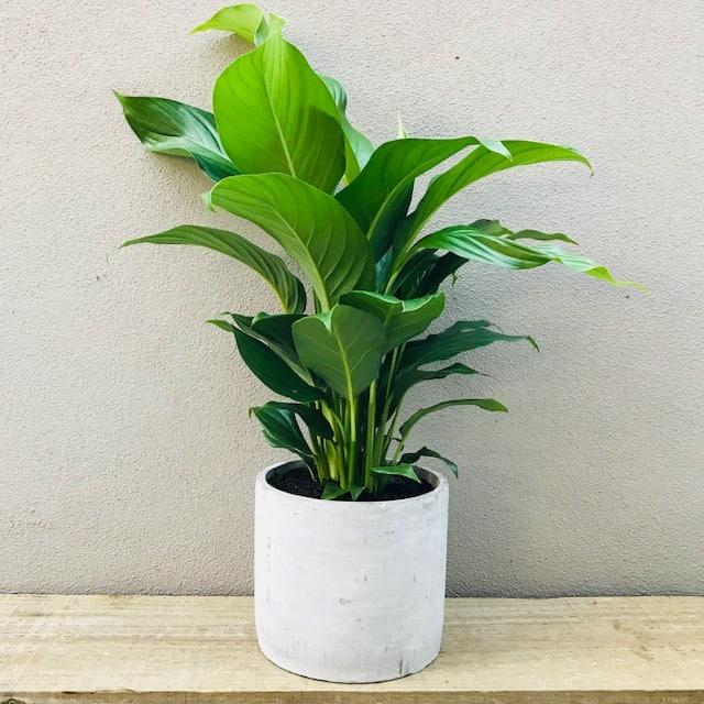Peace Lily in Tatum Pot