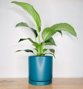 Peace Lily Green Forest Pot