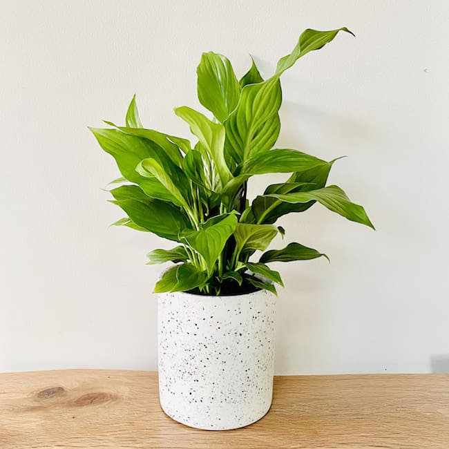 Peace Lily in White Chanel Pot