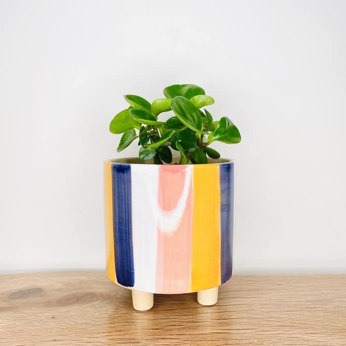Peperomia in Darcy Pot