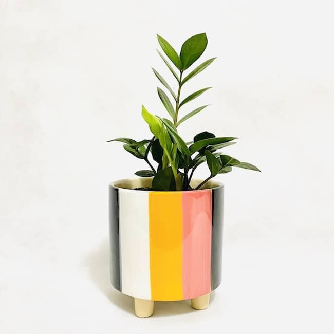 ZZ Plant in Darcy Pot