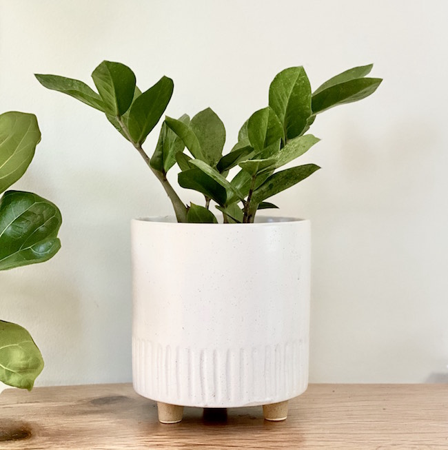ZZ Plant - The easiest plant to grow