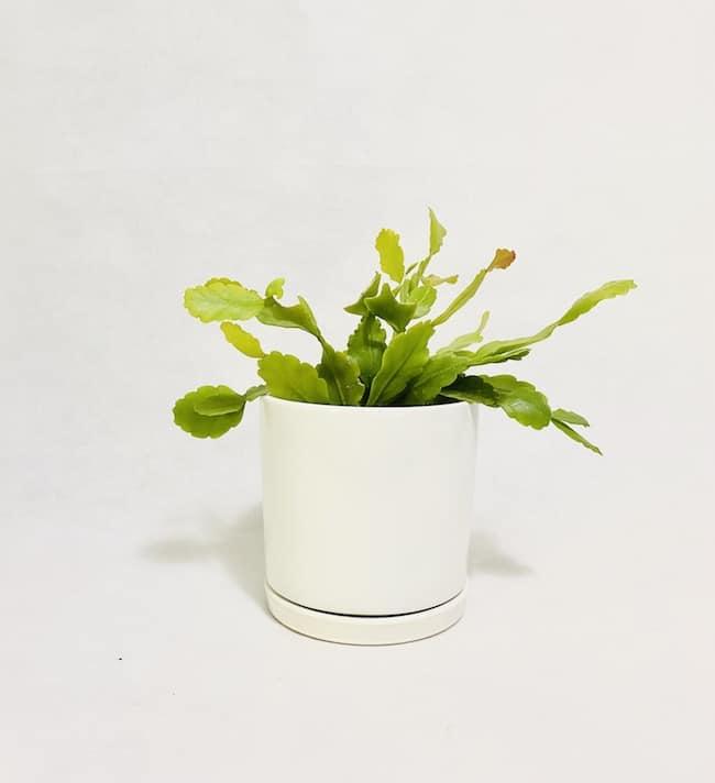 Rhipsalis in Pippa Pot