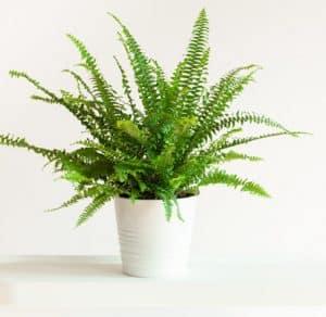 fern in white pot