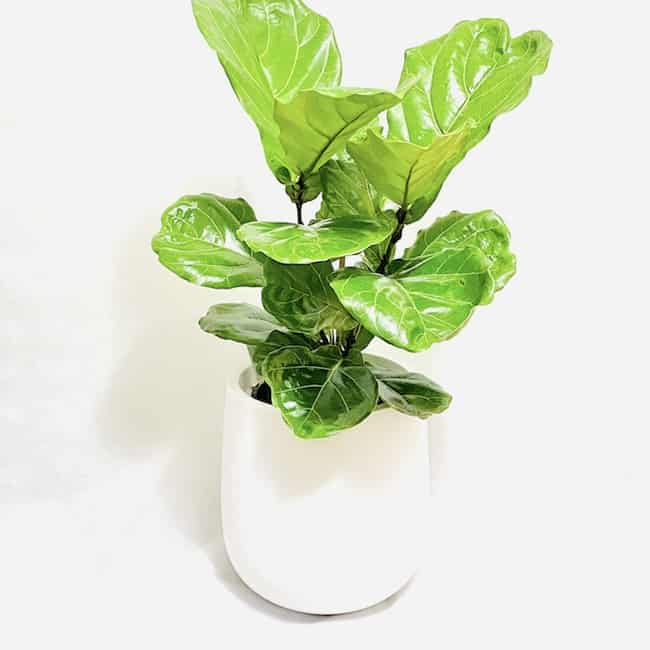 Fiddle Leaf Fig in Willow Planter