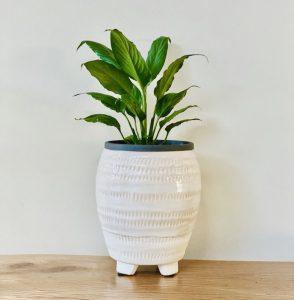 peace lily pot delivery brisbane