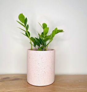 zz plant pink pot